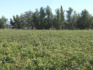 Cotton Farms