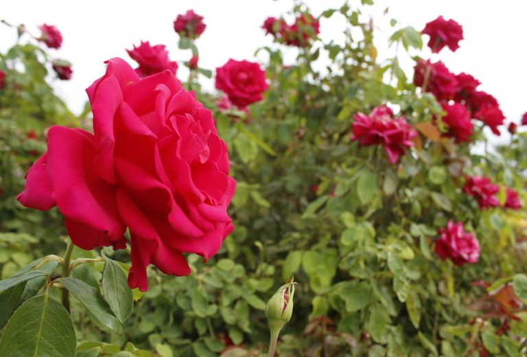 Stop and Smell the Roses at El Paso Municipal Rose Gardens